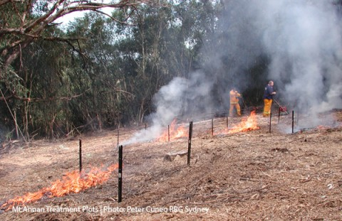 African Olive Fire Treatment Mt Annan