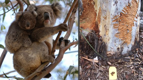 Bark eating koala and chewed tree