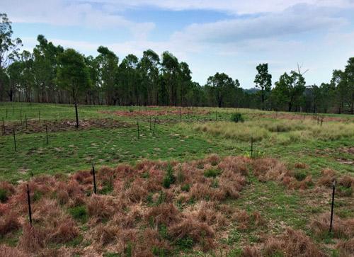 Aftrican Lovegrass treatment plots